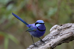 Splendid fairywren (Malurus splendens) - Male (johnedmond) Tags: denmark westernaustralia bird nature wildlife splendid fairywren wren canon 100400mm ef100400mmf4556lisiiusm 7dmkii eos7d