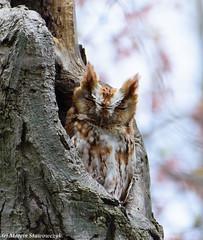 Glimpse of an owl (v4vodka) Tags: bird birding birdwatching animal owl easternscreechowl redmorph sowa sowka ostkreischeule östlichekreischeule 東美角鴞 syczonkrzykliwy syczekkrzykliwy longisland newyork