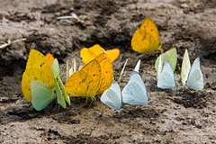 Mineral Junkies (aivar.mikko) Tags: butterflies eating minerals peru orangebarred sulphur jungle manunationalpark rainforest insects butterfly phoebisphilea phoebis philea white yellow orange barred manu national park amazon riverbank river bank sand eat mineral coth coth5 ngc