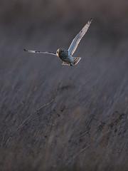 Staring into the sun (Chris Bainbridge1) Tags: asioflammeus shortearedowl in flight