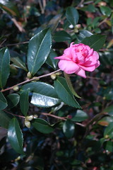 DSC_6798 (Grudnick) Tags: pink green d70 nikon dx75mm eseries camellia maryland bloom flower fall seriese sootc sooc
