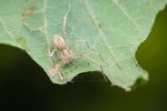 Ghost Spider (Matt Claghorn) Tags: nikond50 anyphaenidae tokina100mmf28 ghostspider spider ohiospiders macro