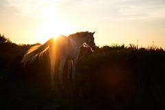 white horse.. (paul.wienerroither) Tags: horse whitehorse animal nature naturephotography spain elpalmar costadelaluz travel photography light sun sunset colors colours evening goldenhour golden fuji fujifilm fujifilmxt3 fujinon35mm xseries europe winter timetotravel view sky andalusien spanien licht sonne xt3