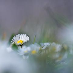_3080257-2 (omj11) Tags: macro 60mm fleurs flou bokeh olympus carré