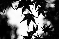 #308 Leaves (tokyobogue) Tags: tokyo japan ukimafunado ukimakoen koen park nikon nikond7100 d7100 sigma sigma1750mmexdcoshsm plants leaves blackandwhite blackwhite monochrome silhouette bokeh 365project