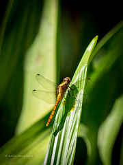 Dragon Fly-1214326 (Life is so Short) Tags: dragonfly fauna