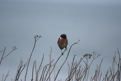 A Stonechat. (Working hard for high quality.) Tags: bird animal robin plant sea seaside beach water focus photography
