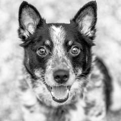 Oliver18Jan20195-Edit.jpg (fredstrobel) Tags: dogs pawsatanta phototype atlanta blackandwhite usa animals ga pets places pawsdogs decatur georgia unitedstates us