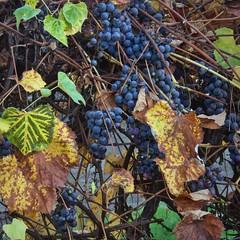 November grapes 11 6 2018 (rbdal (Rick Dalrymple)) Tags: grapes blue leaves fall fallcolor autumn autumncolor autumnleaves autumnfoliage november hillsboro washingtoncounty oregon d7000 nikon grapevine