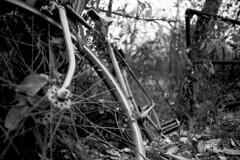 Bicycle Wheel (Pics from the Bird Cage) Tags: canon 35mm bw blackwhite argentique hp5 ilford ilfosol av1 outdoors sanwa ardrossan alberta film ishootfilm canonav1 sanwa28mmf28 classiccamera analog ardrossanalberta ilfosol3 ilfordhp5plus400 bulkfilm camera blackandwhite monochrome rain rainyday rainy bicycle