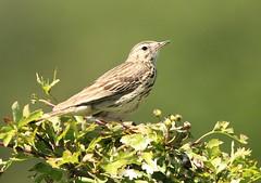 Tree Pipit - Prestbury Hill (glostopcat) Tags: treepipit pipit bird songbird june summer glos prestburyhillnaturereserve