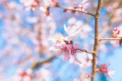 Despite (gusdiaz) Tags: spring flowers pink bokeh dof fuji fujifilm south carolina home tree foliage beautiful relaxing vsco vscocam primavera xt2 16mm