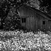 Barn with Daisies (Black & White, North Cascades National Park Service Complex)