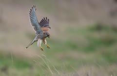 Kestrel about to Pounce -5886 (seandarcy2) Tags: falcon kestrel birdsofprey raptors bif handheld burwellfen cambs uk fenland birds wildlife