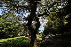 An interestingly shaped tree (charliejb) Tags: clovelly northdevon devon 2017 tree sea leaves branches
