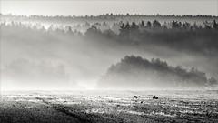 Foggy sunrise (Eva Haertel) Tags: eva haertel landschaft landscape wald forest wiese meadow reh rehwild deer roedeer tiere animals sonnenaufgang sunrise nebel fog mist foggy
