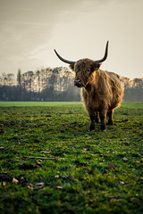 Highlander in the lowland (Bauer Florian) Tags: sony ilce7rm2 highlands hochlandrind sunset nature fe 50mm f18 scotland wildlife ngc