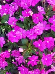 fiorellini rosa (federico.fp) Tags: fiori fiorellini rosa bello natura primavera dolcezza