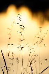 Gold is Everywhere (NathalieSt) Tags: europe france hérault lagrandemotte languedocroussillon occitanie leverdesoleil nature nikon nikond750 nikonpassion nikonphotography sunrise