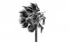 Facing Wind (Pedro Freithas) Tags: palm tree san jose santa clara los angeels diego cruz luis obispo wind black white photography photo sony alpha users day arvore