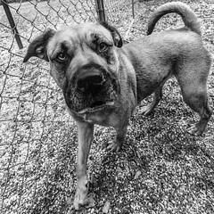 Skye18Jan201947-Edit.jpg (fredstrobel) Tags: dogs pawsatanta phototype atlanta blackandwhite usa animals ga pets places pawsdogs decatur georgia unitedstates us