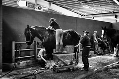 Clydesdale Clean-up Crew (Jen MacNeill) Tags: pennsylvania farm show clydesdale horse horses team work