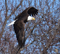 Flying Eagle Focus Challenge (Vidterry) Tags: eagle baldeagle cedarlake nikond4s tamron150600mm 600mm 12500thf11 ev00 handheld