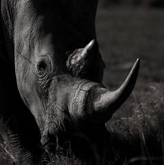 Rhino BW (selvagedavid38) Tags: africa botswana rhino safari mono black white horn potrait close up grazing feeding grass canon eye skin leather tough armoured beast mammal wildlife animal endangered species conservation