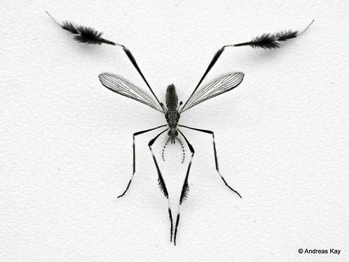 Cranefly, Molophilus (Eumolophilus) sp.? Limoniidae, Tipulidae