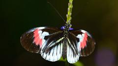 Piano Key Butterfly (Heliconius melpomene) (Pablo L Ruiz) Tags: butterflyworld butterflies tamron18400mf3563