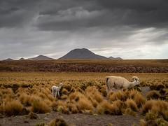 Pasó Jama Chile (Fabian Araya Ramos) Tags: chile san pedro paso jama llama animal