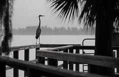 Morning at the Pier (ap0013) Tags: pier fog bird morning dock water lake greatblueheron circleb barreserve lakelandflorida fl flat wildlife