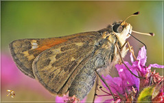 Close Skipper (Vidterry) Tags: butterfly skipper nikond300 tamron180mmmacro 1300thf16 ev23 handheld