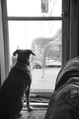 Old Grain Effect (aaron_gould) Tags: monochrome black white blackwhite dogs light lazy iso happy sunlight nikkor d7000 home art bokeh