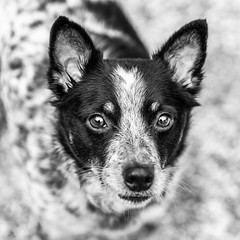Oliver18Jan201930-Edit.jpg (fredstrobel) Tags: dogs pawsatanta phototype atlanta blackandwhite usa animals ga pets places pawsdogs decatur georgia unitedstates us
