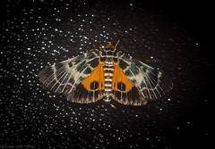 Cardamyla carinentalis (dustaway) Tags: arthropoda australianwildlife australia insecta lepidoptera tamborinemountain mounttamborine sequeensland queensland australianmoths australianinsects pyralidae cardamylacarinentalis