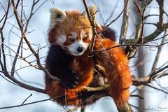 im Ausguck (Ria Trouw) Tags: tierparkberlin tierpark berlin zoo säugetiere kleiner panda roter