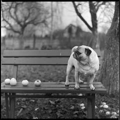 Harvest keeper (Xander Yashnikov) Tags: pug fall apples trix kodak expired yashicamat xtol 13