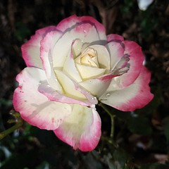 Rose (Marvinette (passe en free)) Tags: flore fleur fleurs flowers flower france jardin garden androïd smartphone automne autumn rose roses rain raindrops roseraie rosier waterdrops plant plants pluie jubiléprincedemonacorose