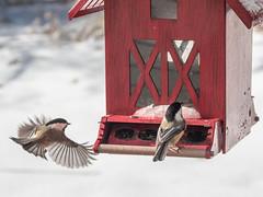 Flight Pattern (John M Poltrack) Tags: animalia aves birds blackcappedchickadee greencenter newhampshire newipswich places poecileatricapillus unitedstates vertebrate weather snow lightroom