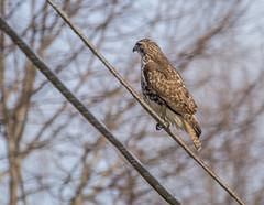 germantownhawk_03 (AgeOwns.com) Tags: hawk raptor mongtomery county maryland wildlife bird moco
