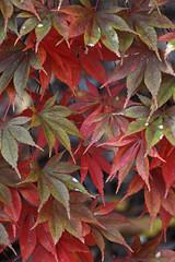 IMG_0555edited.psd (sherri_lynn) Tags: leaves fall autumn foliage color nature tree gibbsgardens