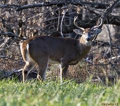 112318182333asmweb (ecwillet) Tags: deer wildwoodparkharrisburgpa nikon nikond500 nikon200500f56 ecwillet ericwillet