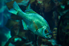 A Fish (Eric Bloecher) Tags: рыба fish aquarium monterey bay california water ocean underwater blue animal
