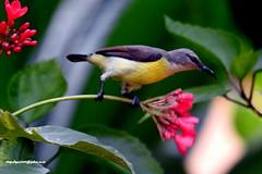 DSCN6158 Purple-rumped Sunbird-Female (Leptocoma zeylonica) (vlupadya) Tags: greatnature animal aves fauna indianbirds purplerumped sunbird female leptocoma kundapura karnataka