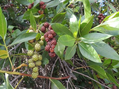 Button Mangrove