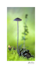 Tall as a tree (g.femenias) Tags: mushroom fungi fungus wildolivetree pinecone moss waterdrops dew nature naturallight morninglight macro macrophotography green sonparric bonany petra mallorca