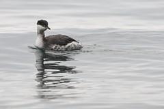 Svasso cornuto (podiceps auritus) (Paolo Bertini) Tags: garda lake verona birdwatching birding svasso cornuto horned grebe podiceps auritus