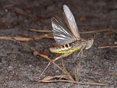 Rolf_Nagel-Fl-2052-Saltatoria (Insektenflug) Tags: saltatoria caelifera grasshopper heuschrecke græshoppe insekt insects im flying fliegend airborne deutschland mecklenburg vorpommern leussow mirow qualzow flug flight inflight germany insectflight insectinflight insekten insektenflug insect imflug minoltaerokkor75mm erokkor minolta rokkor 75mm envole en vole roggentin fliegen