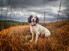 Rupert at 2 years 8 month's old! (Missy Jussy) Tags: rupert rupertbear mansbestfriend malespringerspaniel dog dogwalk dogportrait englishspringer springerspaniel spaniel pet animal moors moorland cromptonmoor shaw oldham landscape lancashire sky clouds grass longgrass field autumn iphone outdoor outside countryside rural